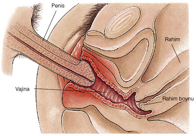how to put penis in the vagina